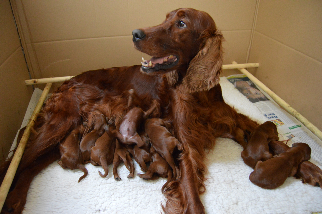 how to train an irish setter