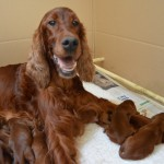 Irish Setter Lettie with pups asleep on her paw