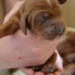 An Irish Setter puppy at 3 days old
