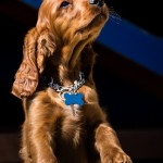 Irish Setter puppy Bracken
