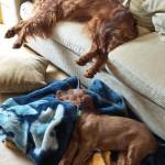 Irish Setter puppy Loki asleep