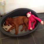 Irish Setter puppy Maisie