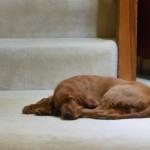Irish setter puppy Rigby