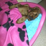 Irish Setter puppy Sadie, asleep