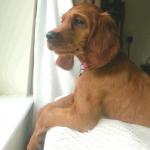Irish Setter puppy Sadie