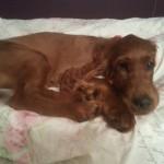 Irish Setter puppy Woody