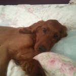 Irish Setter puppy Woody, resting