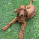 Irish Setter puppy Arthur at home
