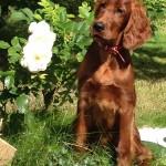 Irish Setter puppy Maisie at 4 months old in her garden
