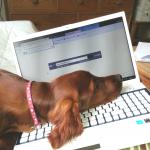 Irish Setter puppy Sadie with computer