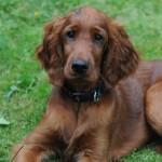 Irish Setter puppy Willow